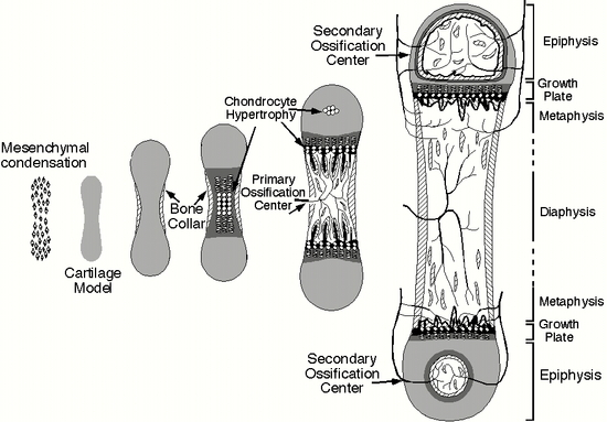 The Biological Basis of Bone & Anatomical Directional Terms (3/6)