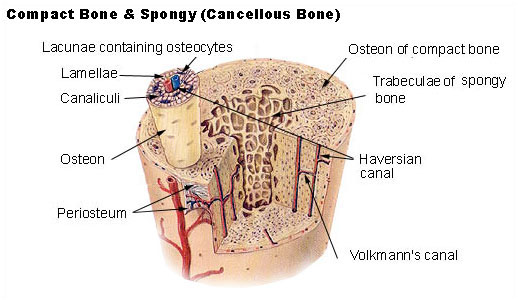The Biological Basis of Bone & Anatomical Directional Terms (6/6)