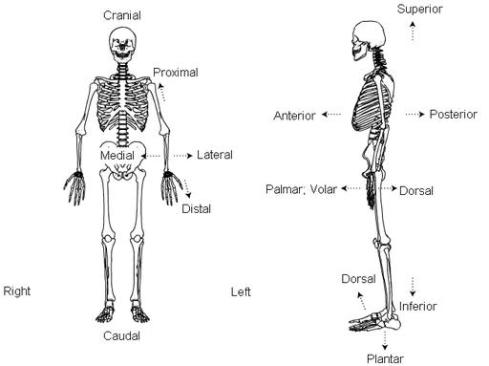 Anatomical Terminology These Bones Of Mine