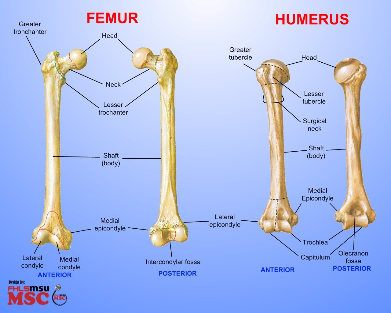 Differences between femur humerus elements