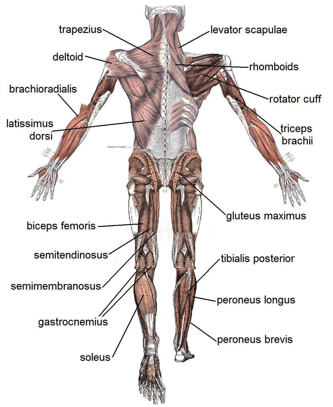 The Basic Muscles In The Human Body These Bones Of Mine