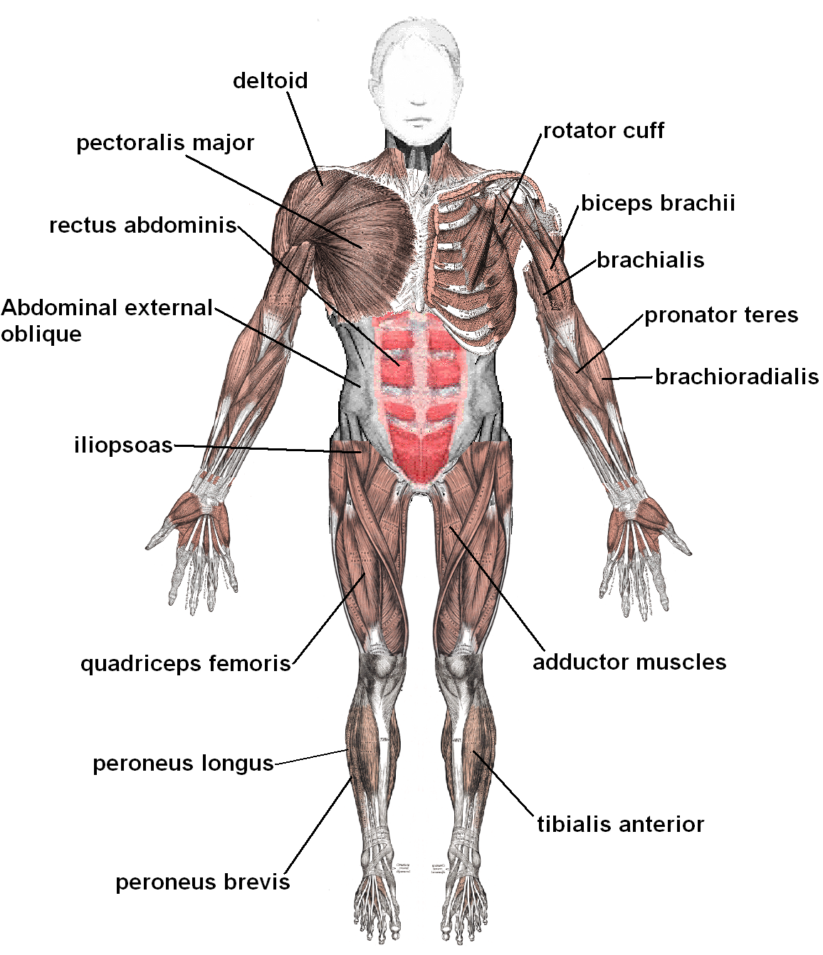 the basic muscles in the human body | these bones of mine, Muscles