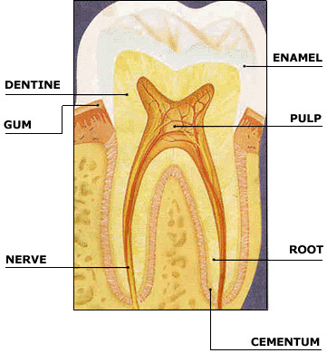 diagram of tooth anatomy skeletal series b: the biological basis of teeth and ... #10
