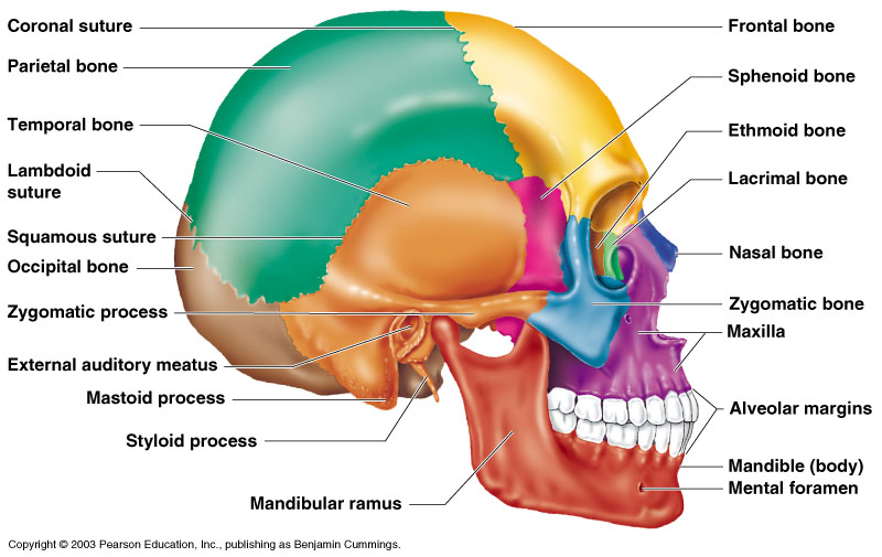 Image result for human skull lateral view