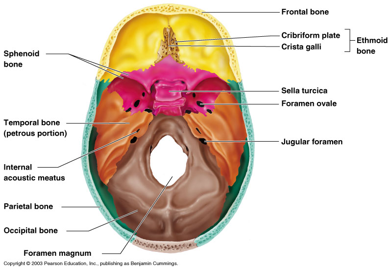skull diagrams these bones of mine Facial Skeleton Diagram \u0027intracranial superior\u0027 view of the human skull