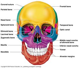 Skeletal Series Part 3: The Human Skull (4/6)
