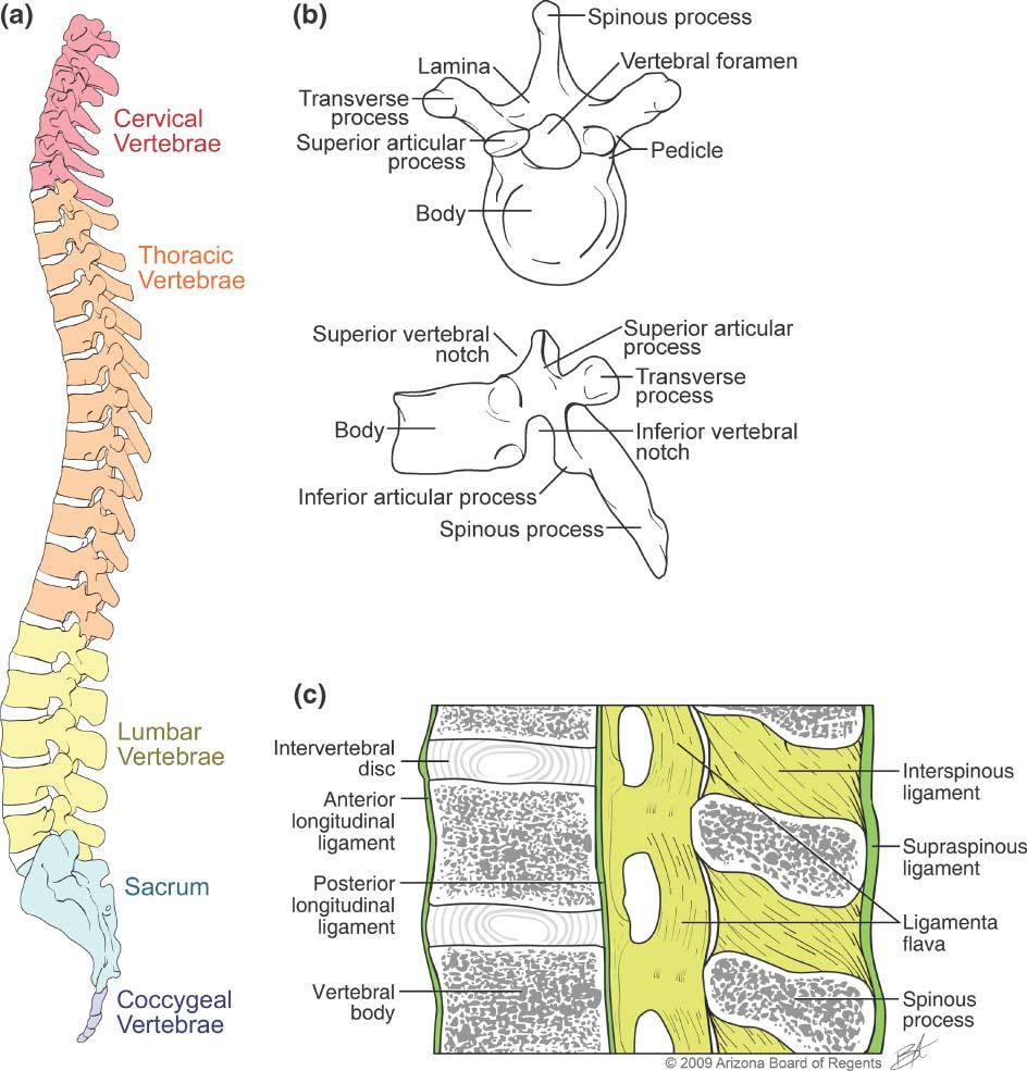 Skeletal Series Part 4: The Human Spine (2/6)