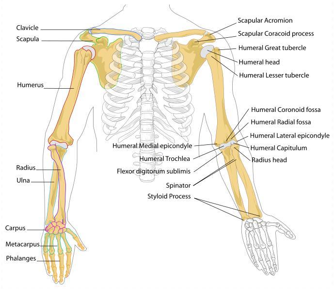 Skeletal Series Part 7: The Human Arm (2/6)