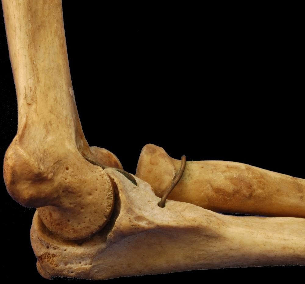 Skeletal Series Part 7: The Human Arm (3/6)