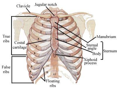 Main anatomical elements of the rib cage. (Image credit: Wikipedia ...