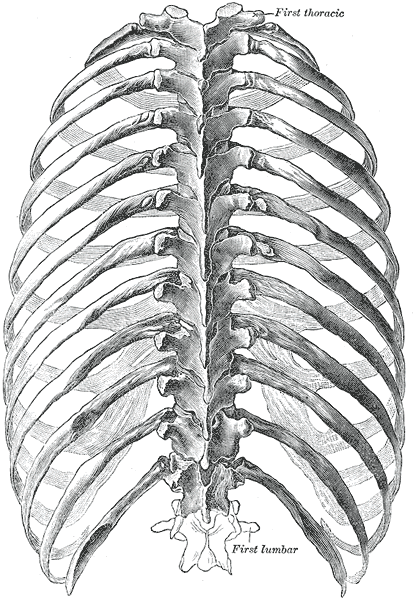 skeletal series part 5: the human rib cage | these bones of mine, Human Body