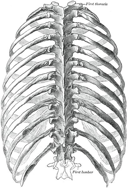 Skeletal Series Part 5: The Human Rib Cage (2/6)