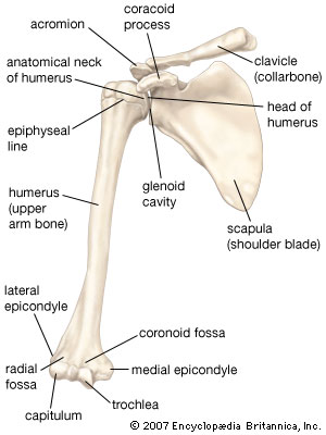 anterior view of the shoulder