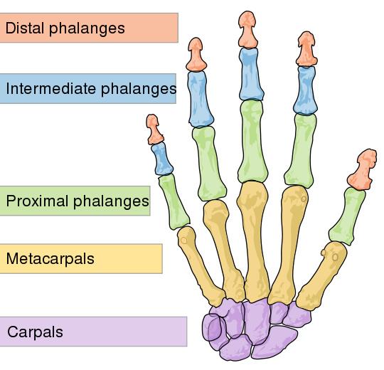 Skeletal Series Part 8: The Human Hand (2/6)