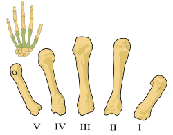 Skeletal Series Part 8: The Human Hand (5/6)