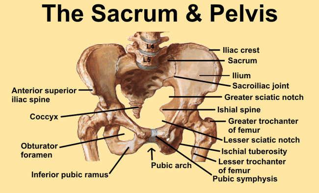 Skeletal Series Part 9: The Human Hip (5/6)