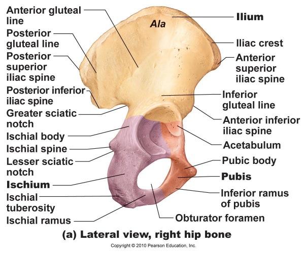 Skeletal Series Part 9: The Human Hip (4/6)