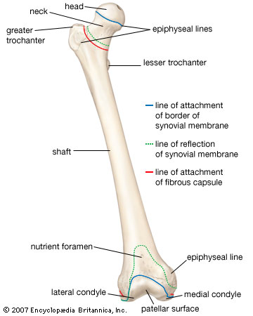 femur these bones of mine : leg bones diagram femur - findchart.co