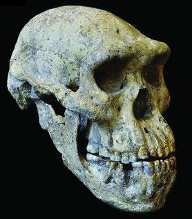 dmanisi skull 5