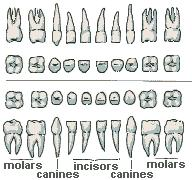 Teeth Development | These Bones Of Mine