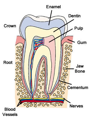 basic tooth anatomy Composition the tooth anatomy includes the crown, which is the portion of the tooth exposed to the oral cavity, and one or more roots, which are enveloped in bone and the periodontium the crown of each tooth has 5 surfaces, as follows: buccal (facing the cheek or lip) lingual (facing.