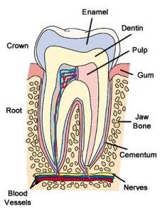 Toothanatomy2